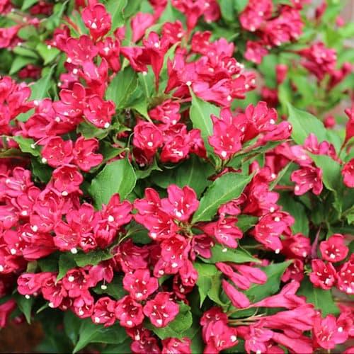 Вейгела Ньюпорт Ред зображення 1 артикул 9194