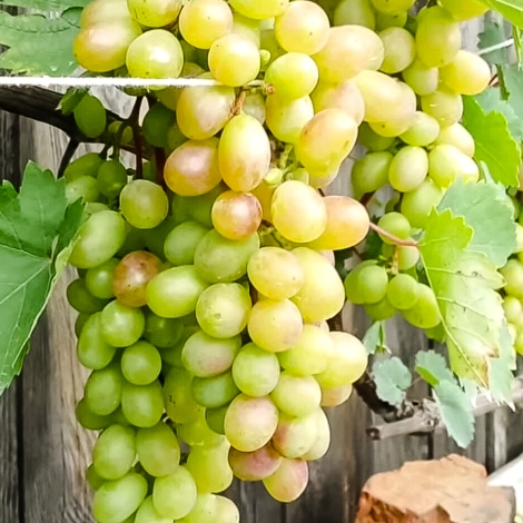 Виноград Августин зображення 1 артикул 7300