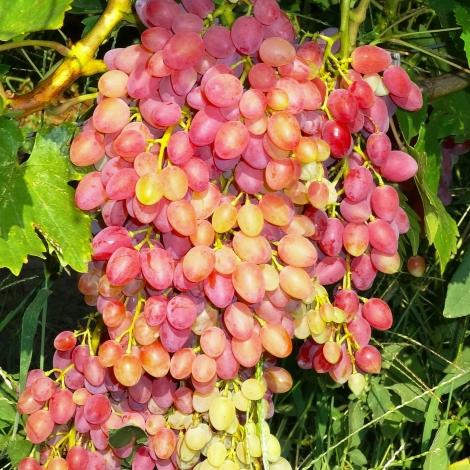 Виноград кишмиш красный рисунок 1 артикул 7313