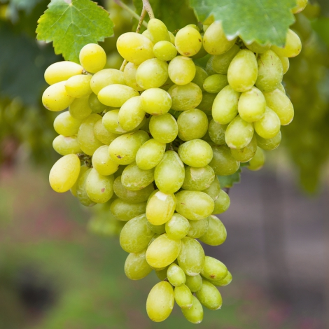Виноград кишмиш Століття зображення 1 артикул 7316