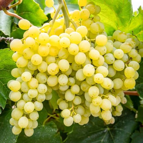 Виноград кишмиш Надранній зображення 1 артикул 7315