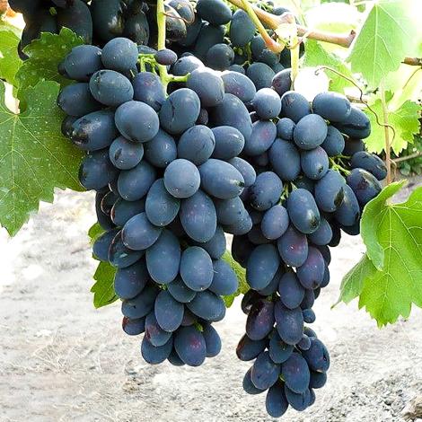 Виноград Кодрянка рисунок 1 артикул 7397