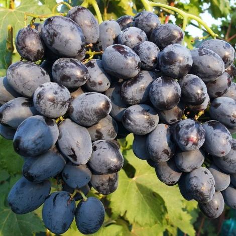 Виноград Память Небесной сотни