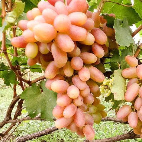 Виноград Сенсація зображення 1 артикул 7326