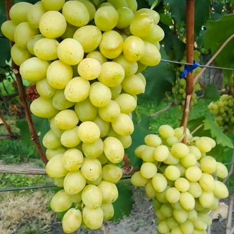 Виноград Слава Украине рисунок 1 артикул 7369