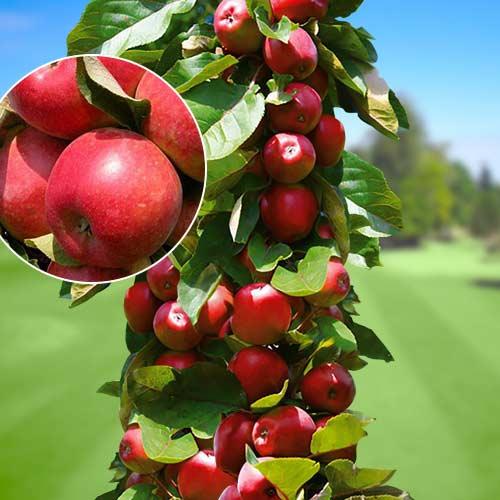 Яблуня колоновидна Трайдент