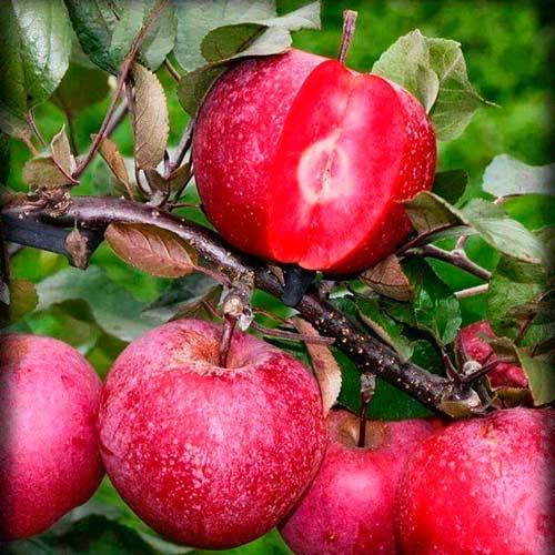 Яблуня Рожева перлина ( червона м'якоть) зображення 1 артикул 7475
