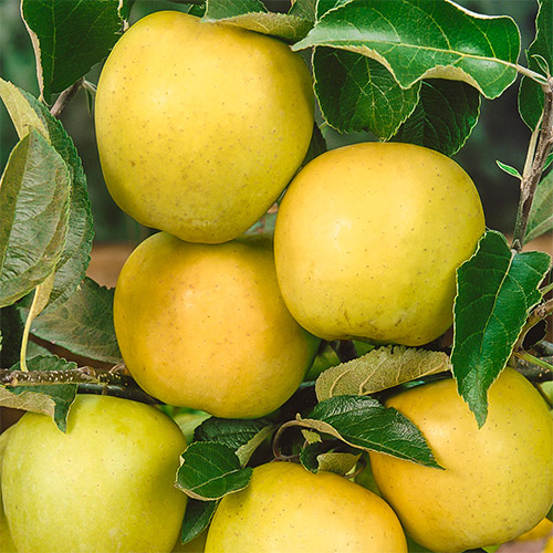 Яблуко-груша Голден Делішес