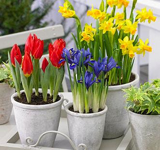 Луковицы цветов Лучшая покупка