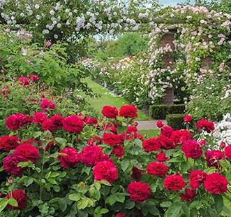 Розы 2021