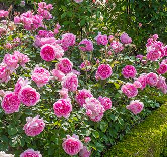 Розы почвопокровные