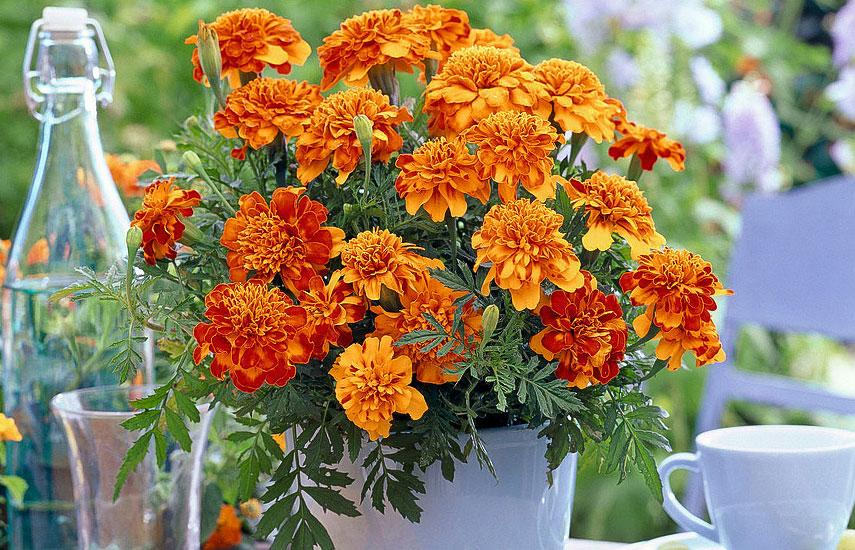 чорнобривці квіти які цвітуть все літо