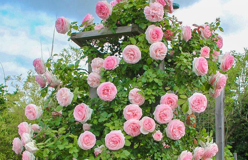 терміни посадки плетистої троянди