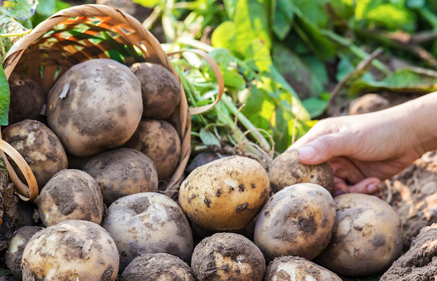 Як збільшити врожайність картоплі