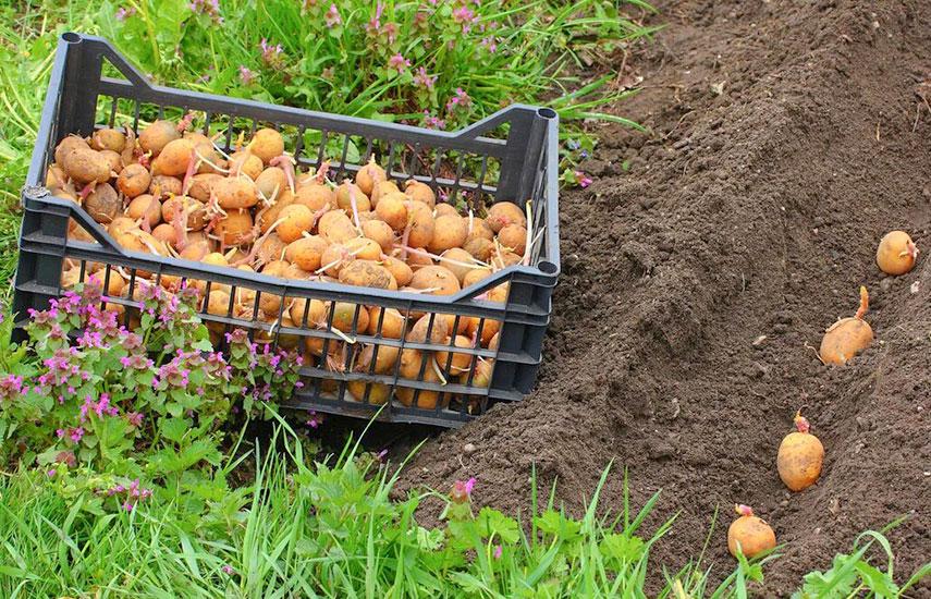 Коли і як садити картоплю