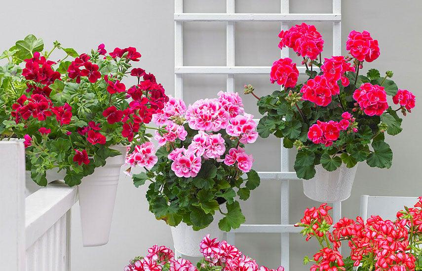 ампельні квіти цвітуть весною