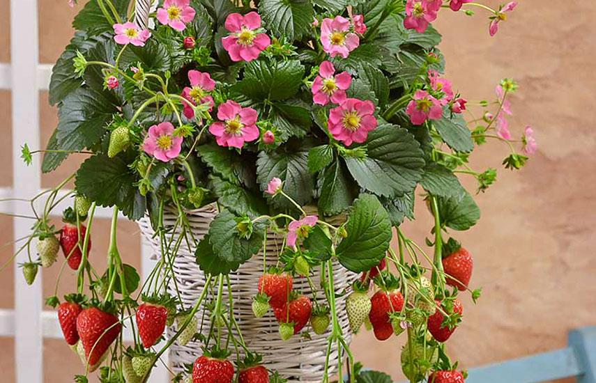 полуниця з рожевими квітами