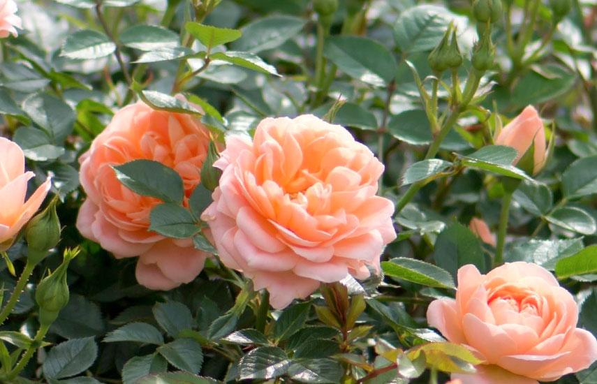 чим підгодувати троянди навесні
