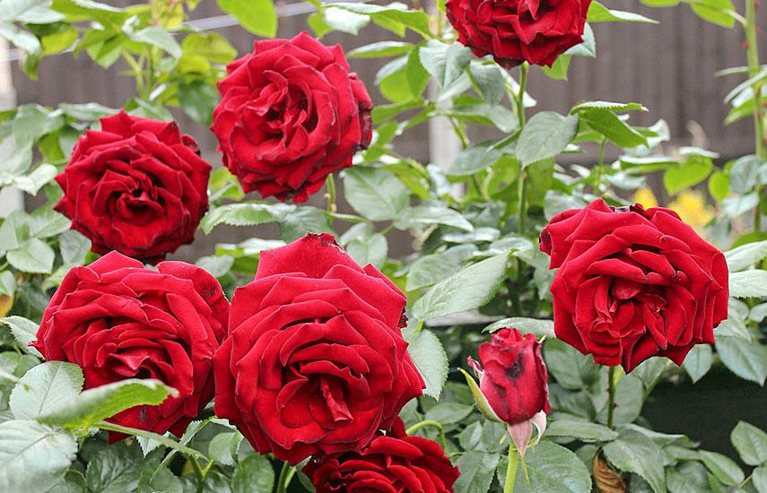 терміни і способи внесення добрив для троянд навесні