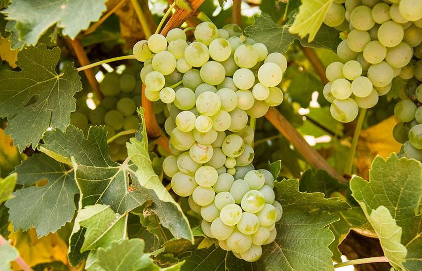 виноград посадка і догляд у відкритому ґрунті