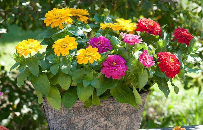 цинія квіти які цвітуть все літо