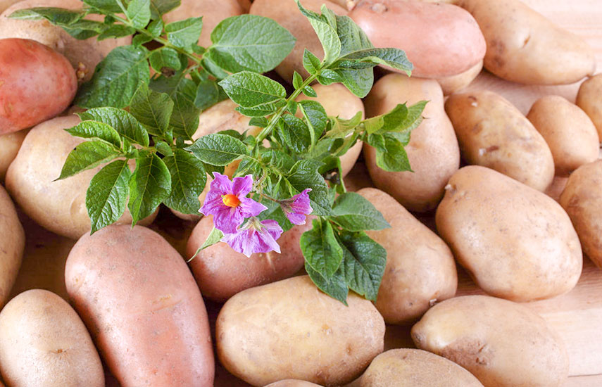 Особливості вирощування картоплі