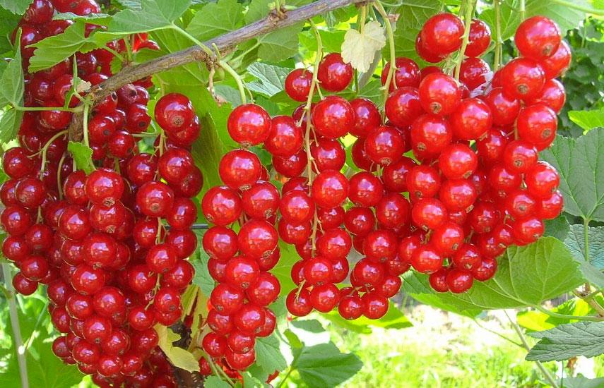 профілактична обробка смородини та порічок навесні