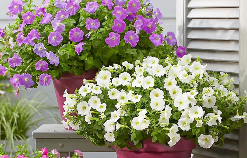 петунія квіти які цвітуть все літо