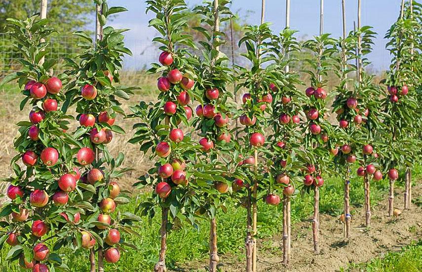 як вирощувати колоновидні дерева