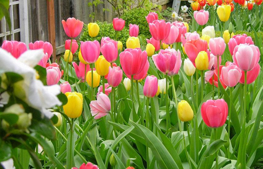 тюльпан багаторічники для ледачого саду