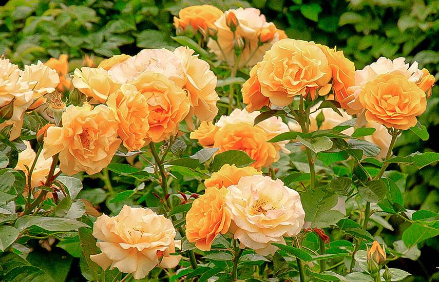 як правильно посадити троянди в саду