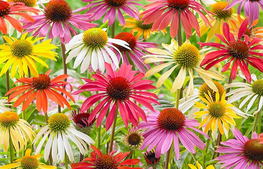 ехінацея квіти багаторічники для ледачого саду
