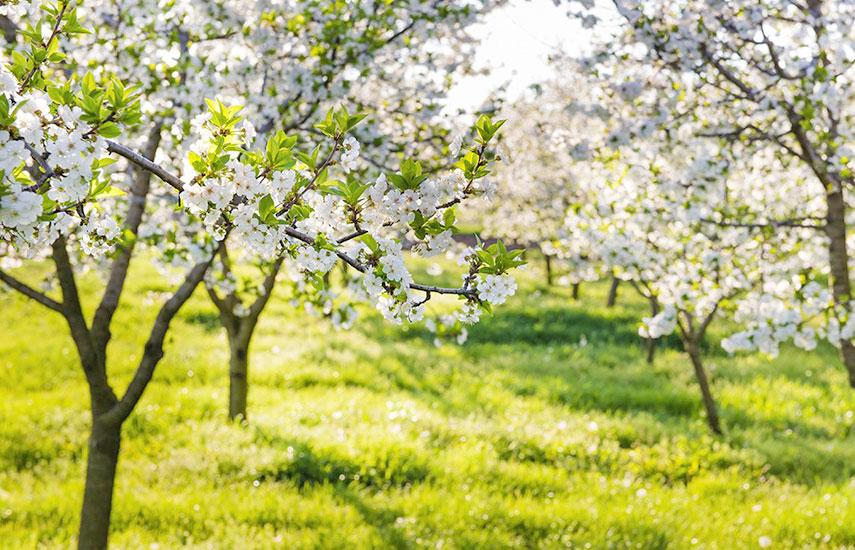 терміни підгодівлі яблунь навесні