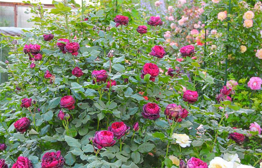 висадка кущів троянд