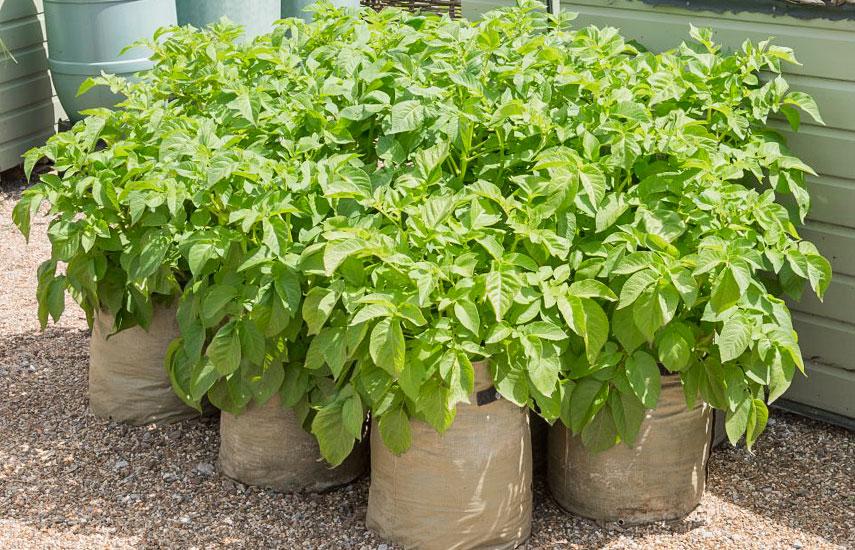 как выращивать картошку в мешках бочках пакетах