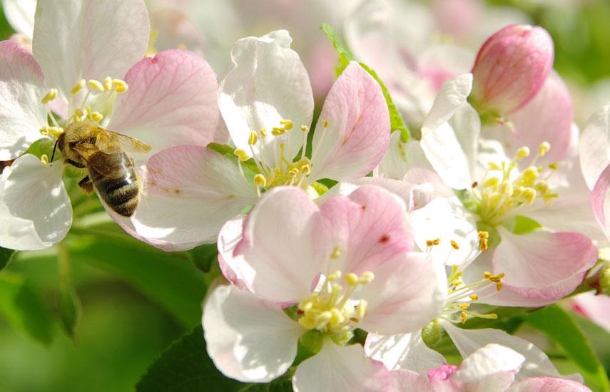 підживлення колоновидних яблунь навесні