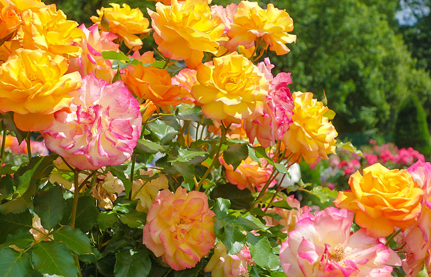 техніка посадки саджанців троянд