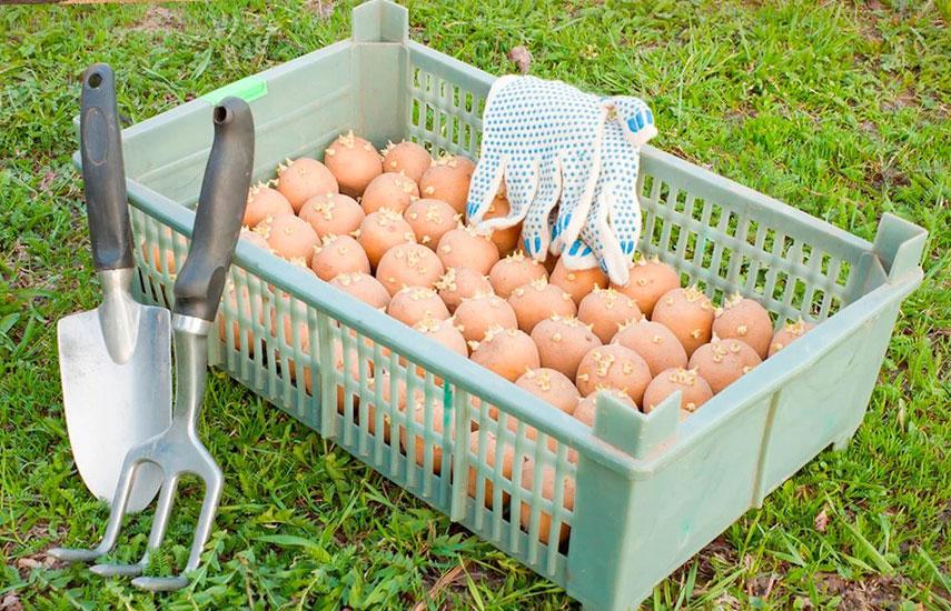 Яровизація картоплі як і коли проводити