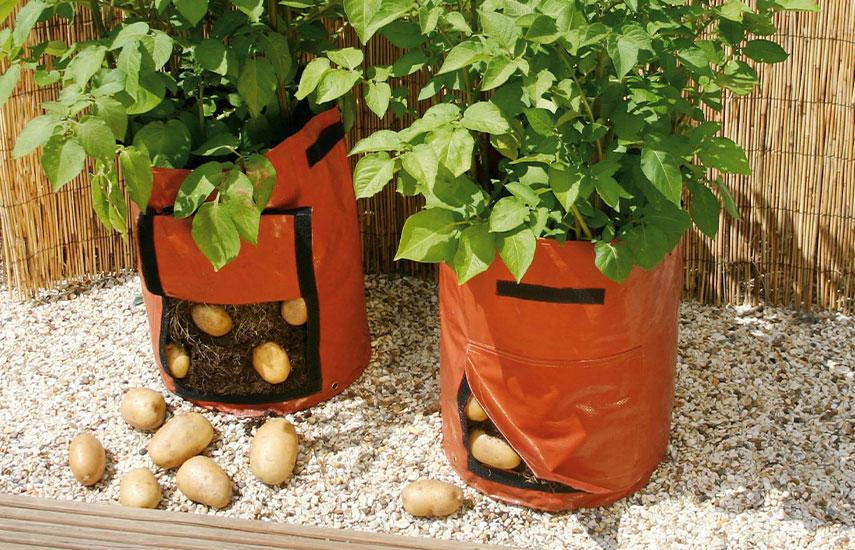 Картопля вирощування в відрах діжках квіткових горщиках
