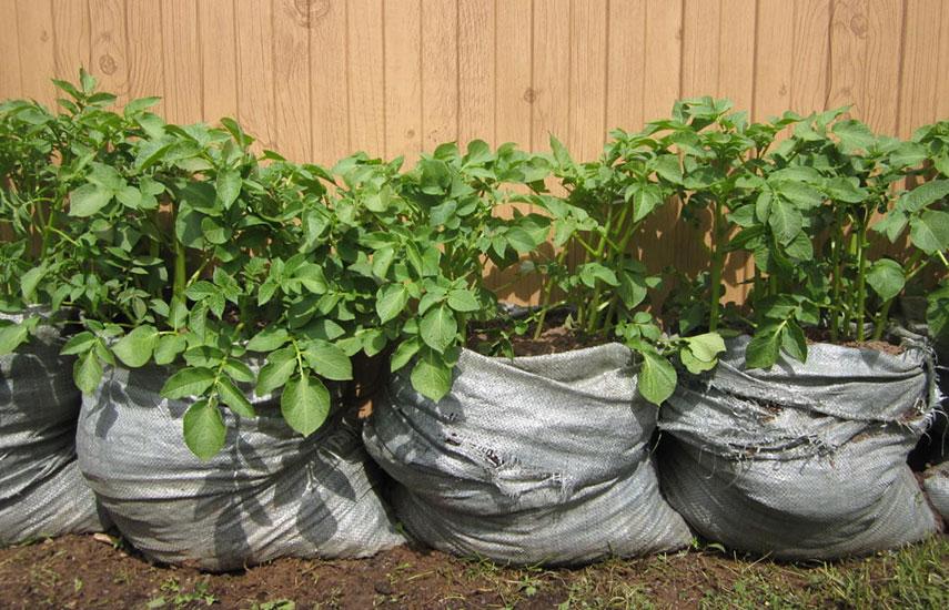 картопля в мішках вирощування