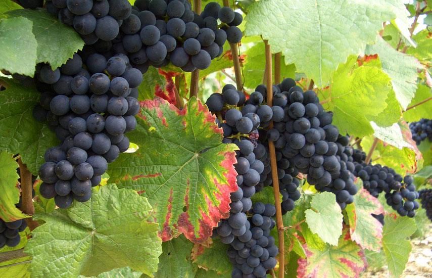 який сорт винограду краще вибрати