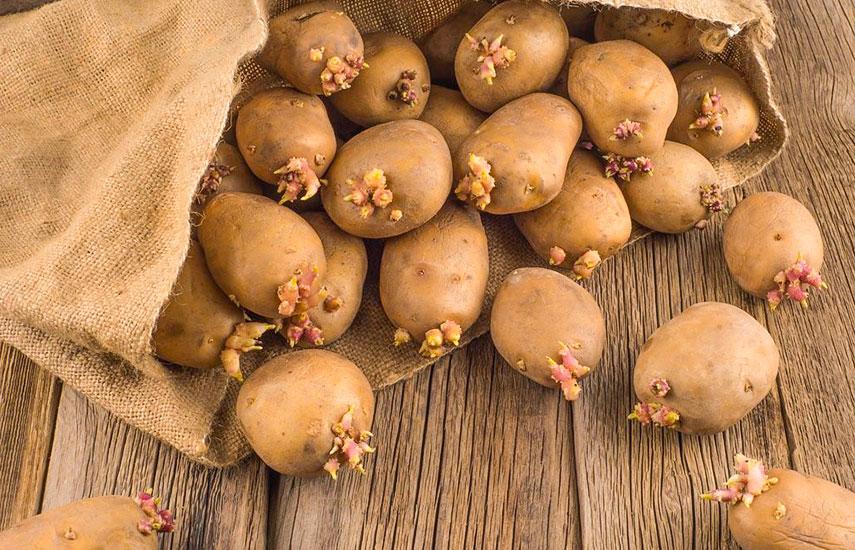 Яровизація картоплі як проводити