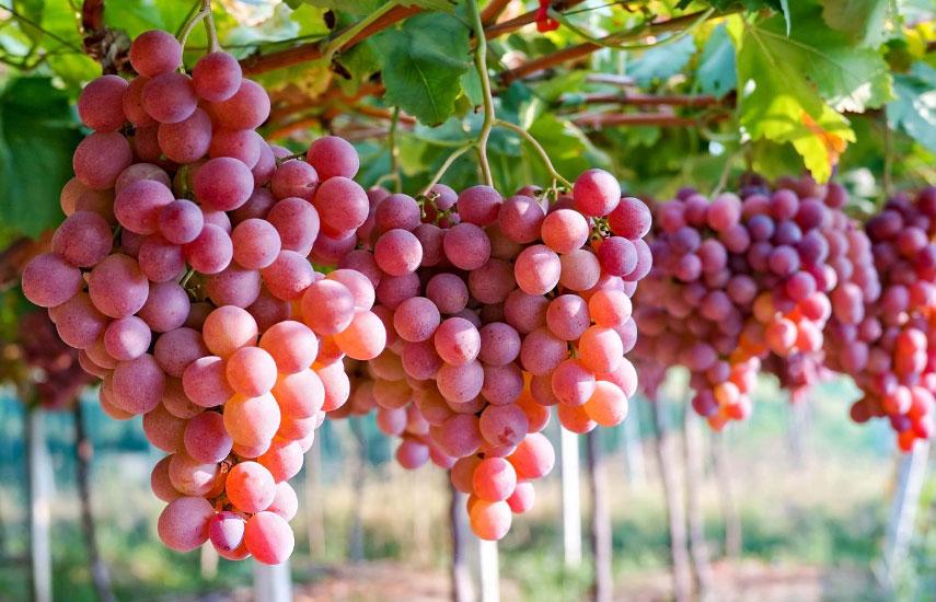 вирощування винограду на дачі