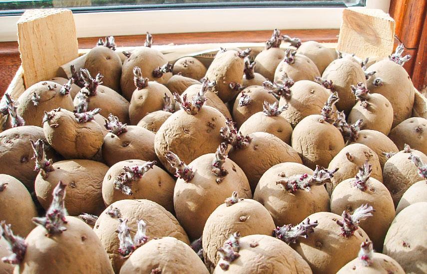 Яровизация картофеля замем проводить