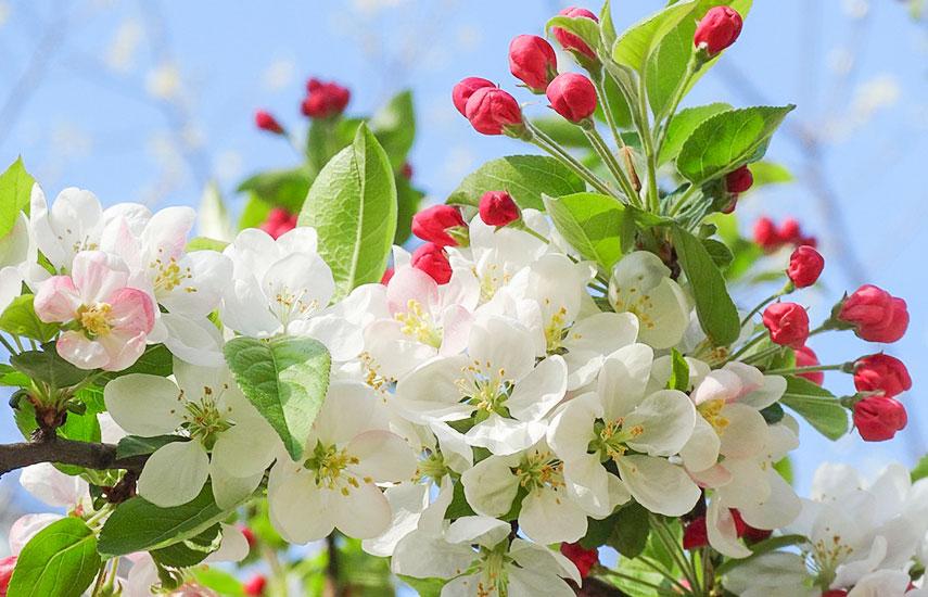 Добрива для яблуні