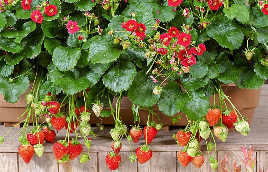 рожевоквіткова полуниця