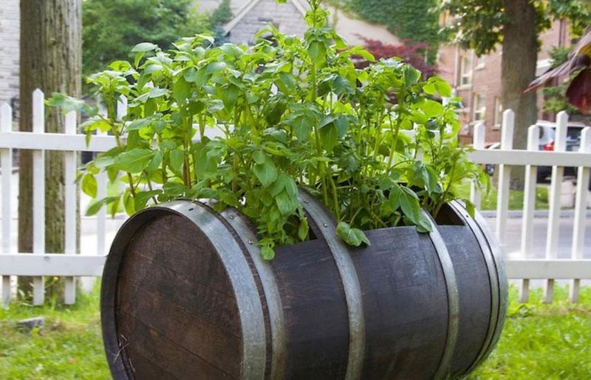 Выращивание картофеля в бочках