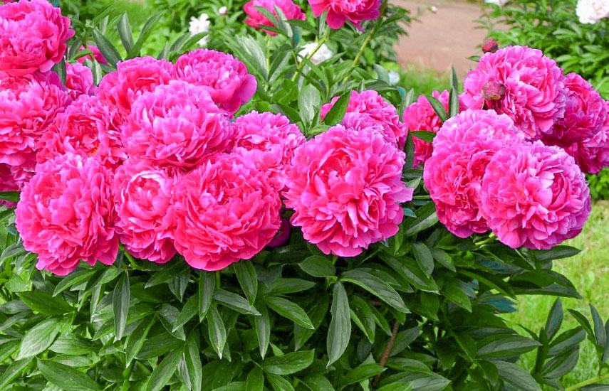 півонії квіти багаторічники для ледачого саду