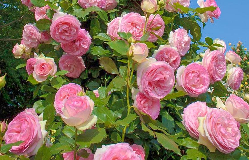 осадка троянд навесні