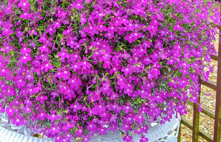 лобелія ампельні квіти цвітуть весною